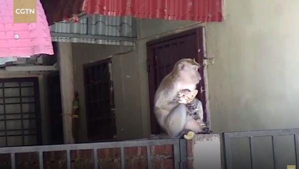 Amusing moment: Wild monkey grooms tiny kitten - Sputnik France