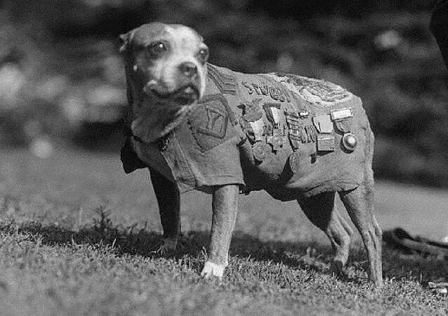 Le sergent Stubby, chien le plus décoré de la première guerre mondiale