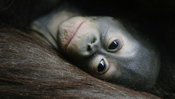 Un bébé orang-outan - Sputnik France