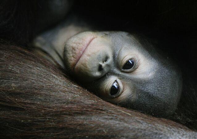 Un bébé orang-outan