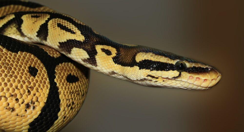 Un python royal (image d'illustration)