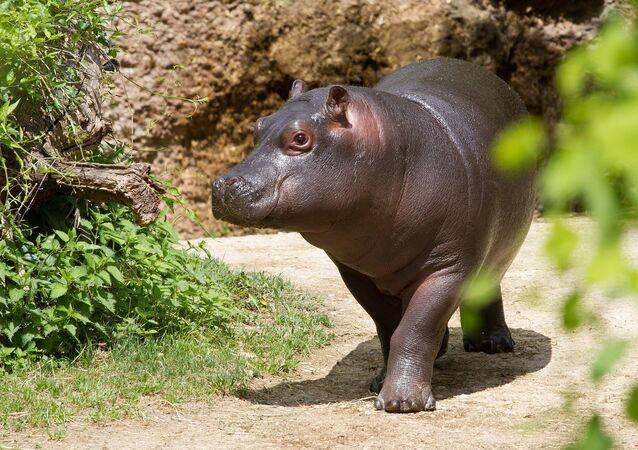 Un bébé hippopotame