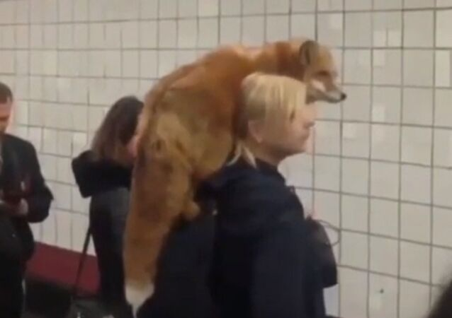 C'est fou ce qu'on peut voir dans le métro de Moscou! Croyez-en vos yeux, c'est un renard