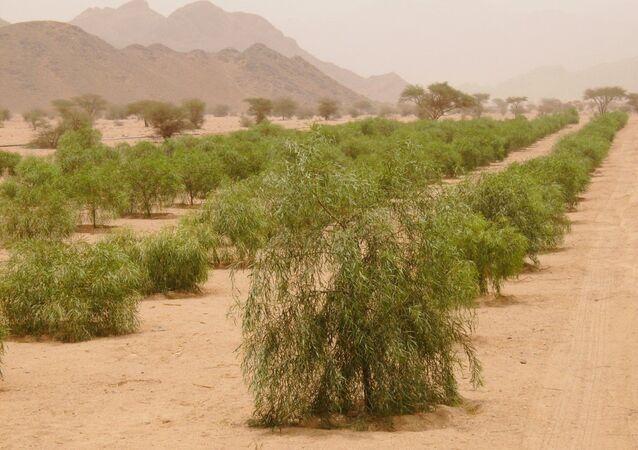 12 millions de plants pour lutter contre la désertification en Arabie saoudite