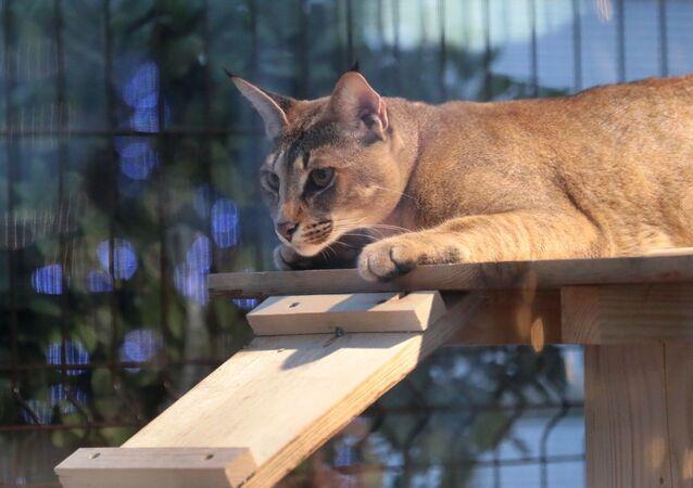 Caracat, Savannah et le félin le plus cher du monde