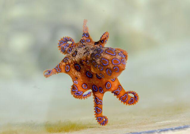 Une pieuvre à anneaux bleus