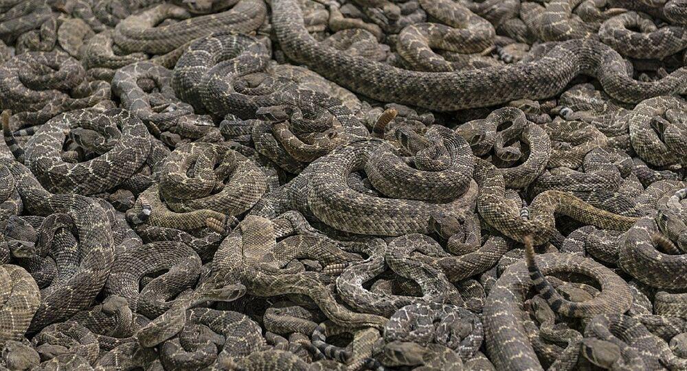 Un nid de serpents à sonnette