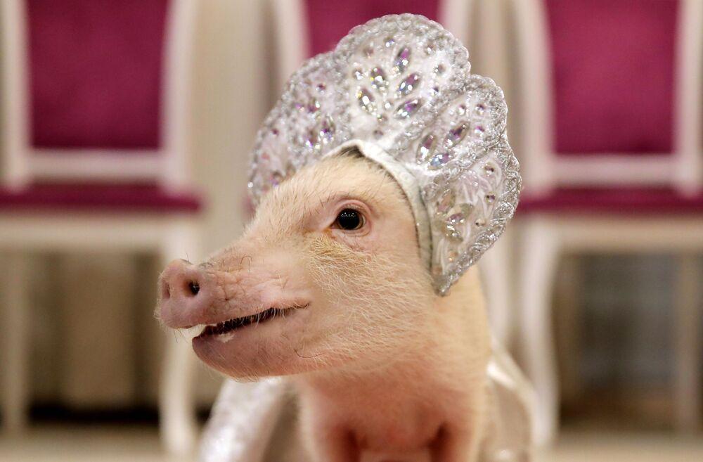 L'année du Cochon de terre est considérée comme l'une des années les plus calmes. Sur la photo: un cochon nain, aussi appelé cochon miniature, lors d'une présentation dans la ville de Balachikha, dans les environs de Moscou