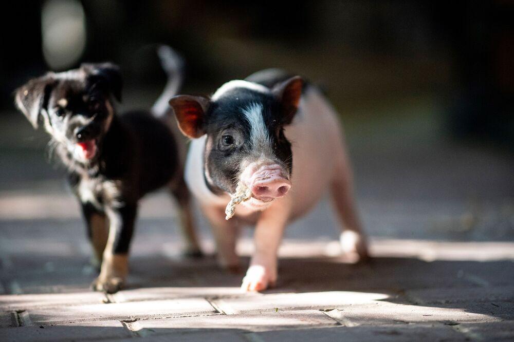 Le cochon est un animal opiniâtre qui n'a pas peur des obstacles qu'il surmonte facilement. Sur la photo: le chiot Little Black et le cochonnet Peppa se promènent ensemble dans une banlieue de Shanghai, en Chine