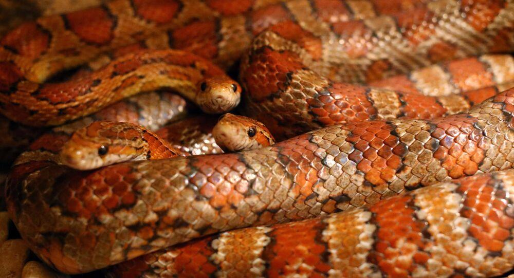Des serpents (image d'illustration)
