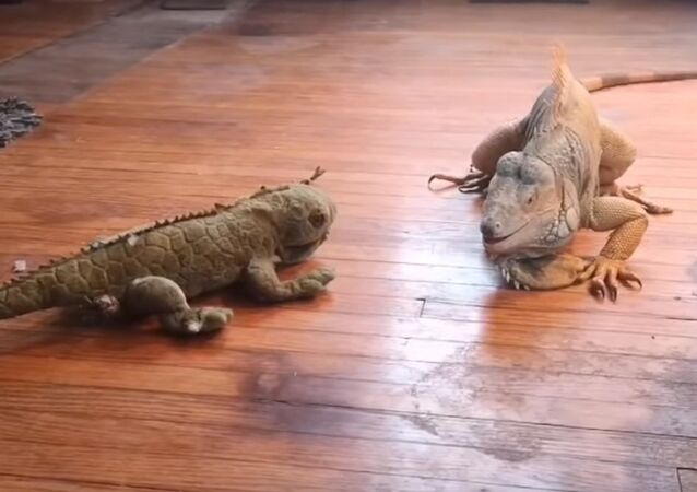 Сomment traiter un «rival»: la bagarre entre un iguane et un animal en peluche