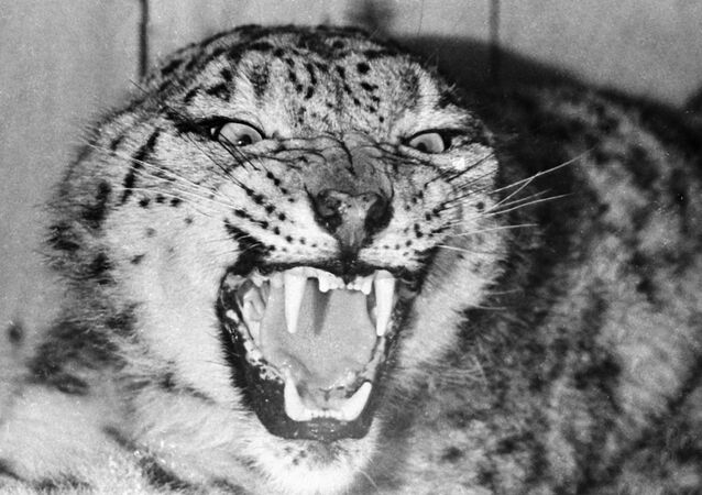 Un léopard des neiges  (archives)