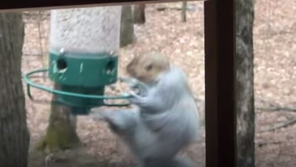 Ce moment amusant où un écureuil tourne autour d'une mangeoire - Sputnik France