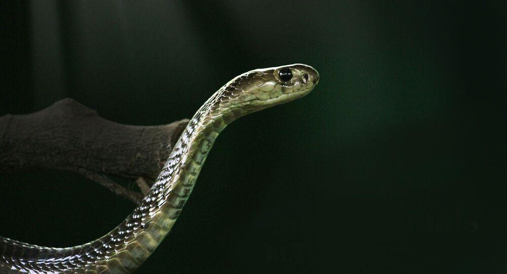 Un cobra royal