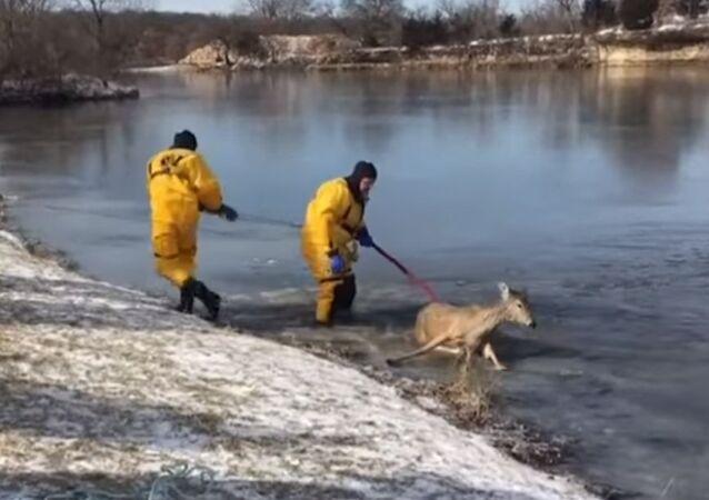 Des pompiers américains ont sauvé un cerf d'un lac gelé