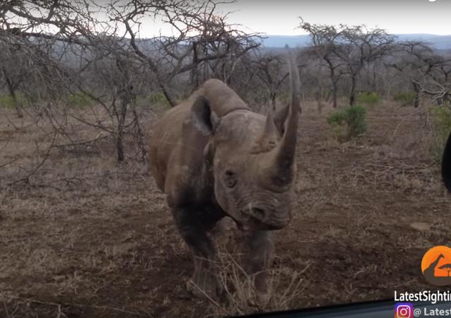 Un rhinocéros attaque une voiture dans un parc national en Afrique
