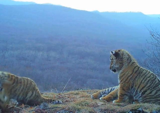 bébés tigres de Sibérie