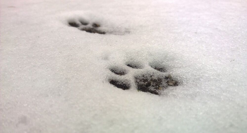 Empreintes laissées par un chat dans la neige