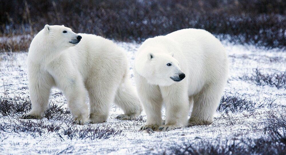 des ours polaires