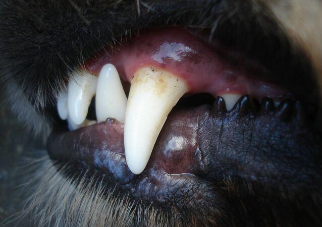 Dents de chien