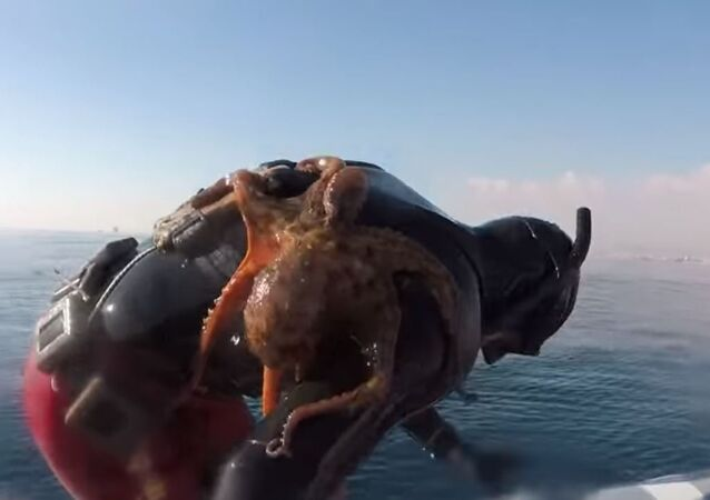 Octopus Clinges to Italian Diver's Back