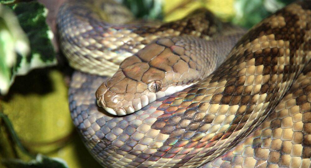 Un python améthyste