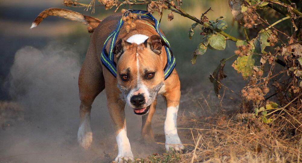 un American Staffordshire terrier