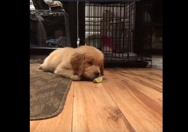 Quand un chiot goûte un citron vert pour la première fois
