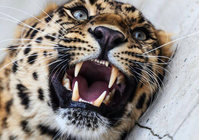 Un léopard