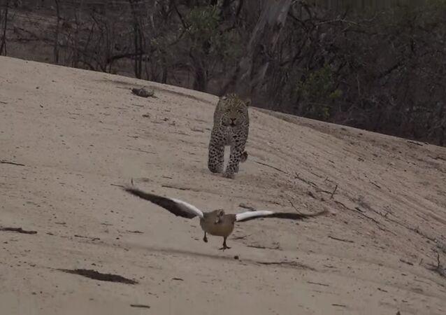 Une maman avisée: une oie sort miraculeusement gagnante d'un combat avec un léopard