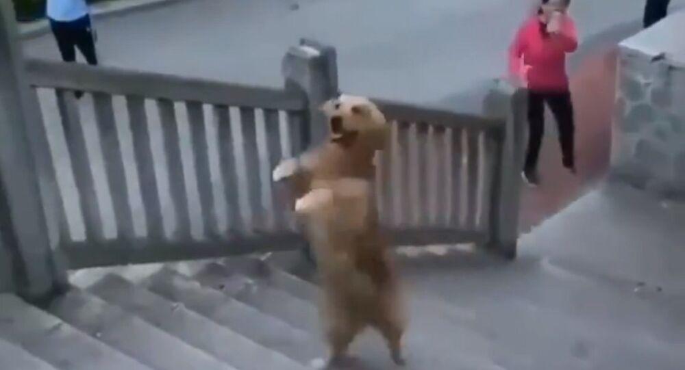 Ce golden retriever monte l'escalier à deux pattes