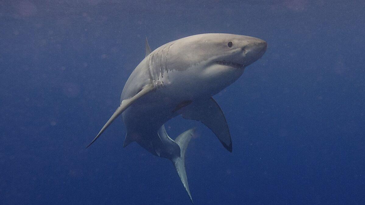 La montagne enfant requins requins animaux aquatiques à Capuche