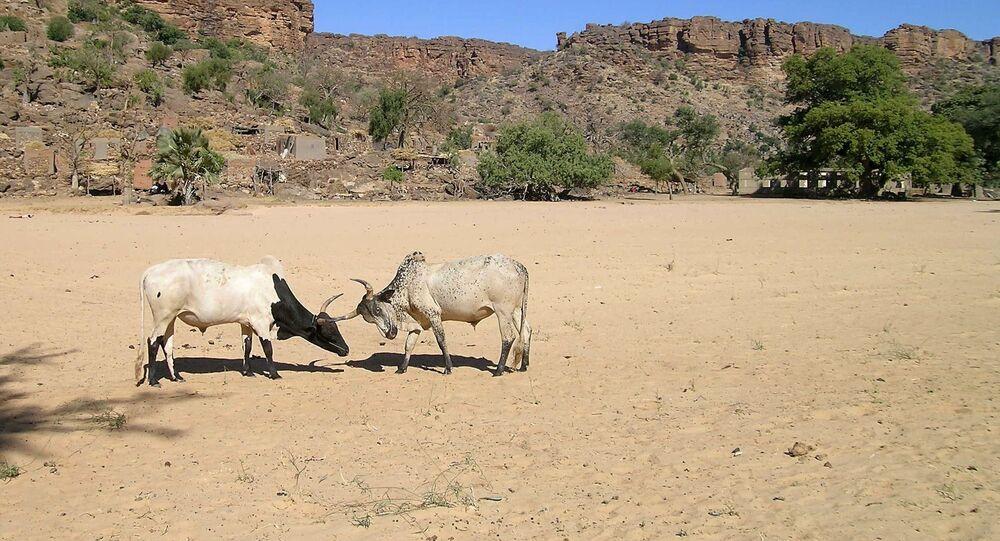Des taureaux de bergers Peuls, au Mali. Archives