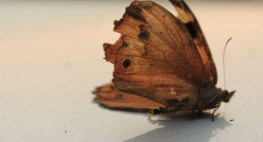 Un papillon mort
