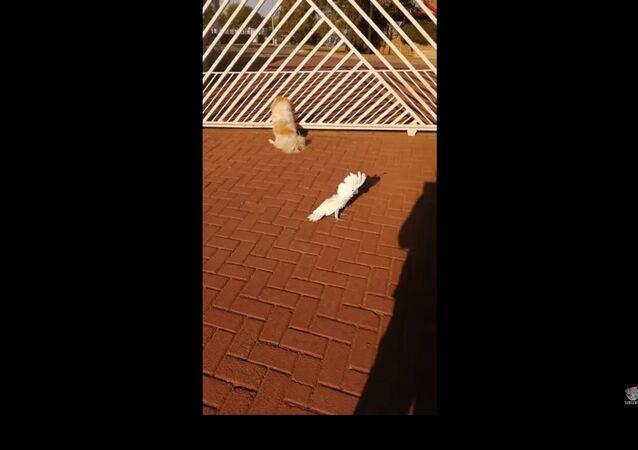 Qui a dit «wouf»? Un perroquet ayant grandi avec des chiens a appris à aboyer et à garder la maison