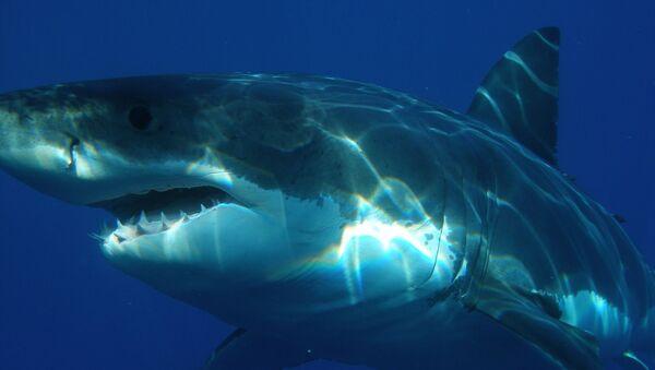 requin blanc - Sputnik France