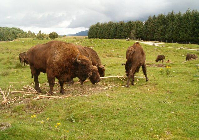 Des bisons européens (archive photo)