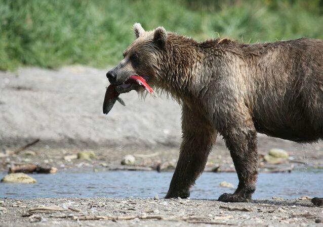un ours avec un poisson, image d'illustration