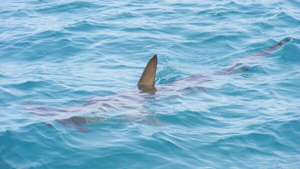 Un requin (image d'illustration) - Sputnik France