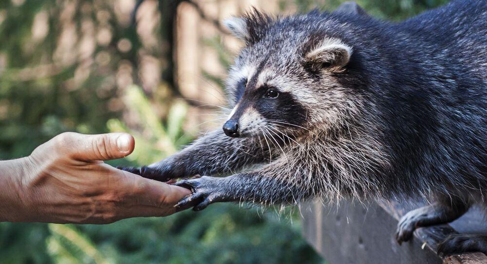 Un raton-laveur (image d'illustration)