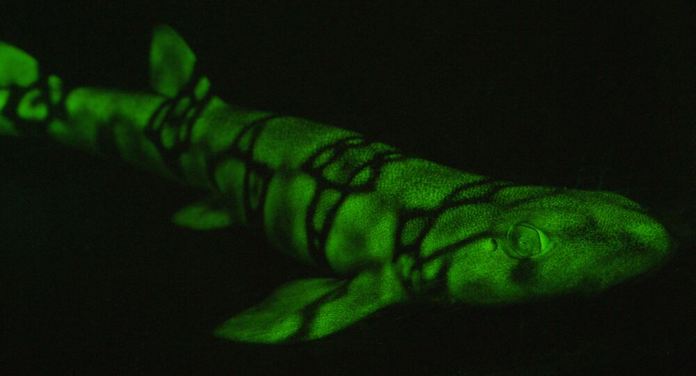 Un requin fluorescent