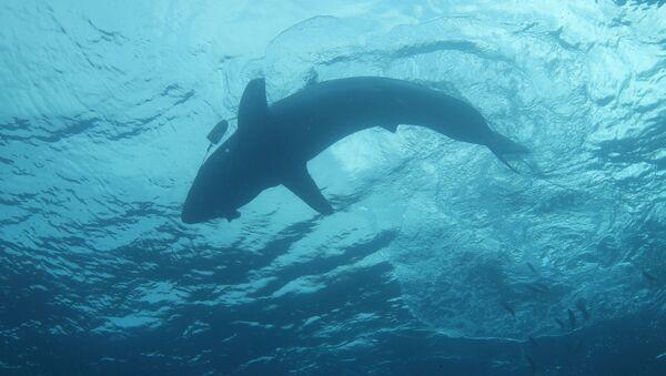 Requin  - Sputnik France