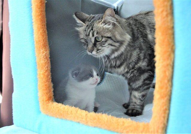 Le premier chaton cloné en Chine