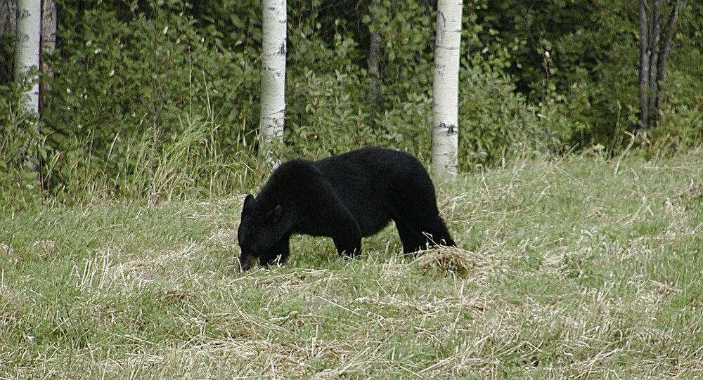 Un grizzly (image d'illustration)