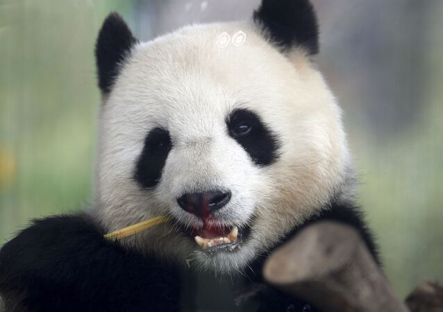 Panda Meng Meng