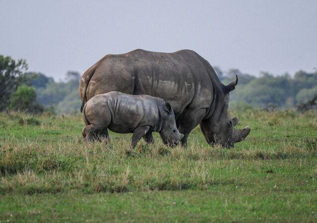 Un rhinocéros avec son bébé (image d'illustration)