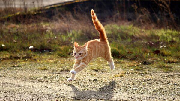 Un chat roux - Sputnik France