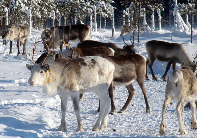 Des rennes en Laponie