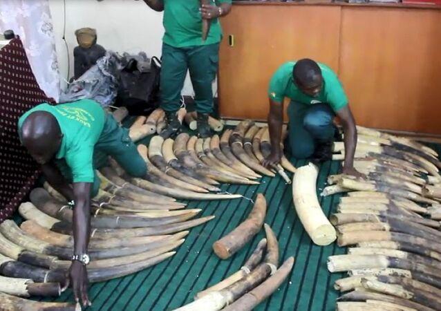 Défenses en ivoire saisies à Douala en 2018