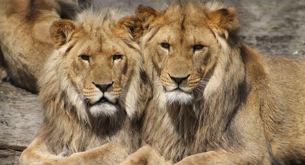 des lions (image d'illustration)